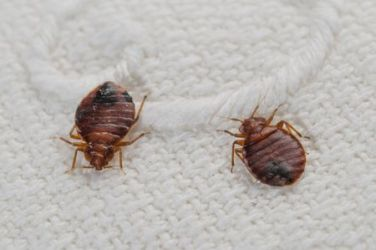 Bed Bugs Removal Dubai