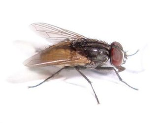Flies Control Services